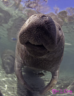 Manatee (<em>Trichechus manatus latirostris</em>).  The living Mermaids of our freshwater ecosystem.